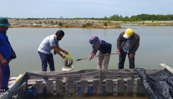 Kelompok Lingkungan Bangka Hijau Binaan PT Timah Panen Kakap Putih 300 Kilogram